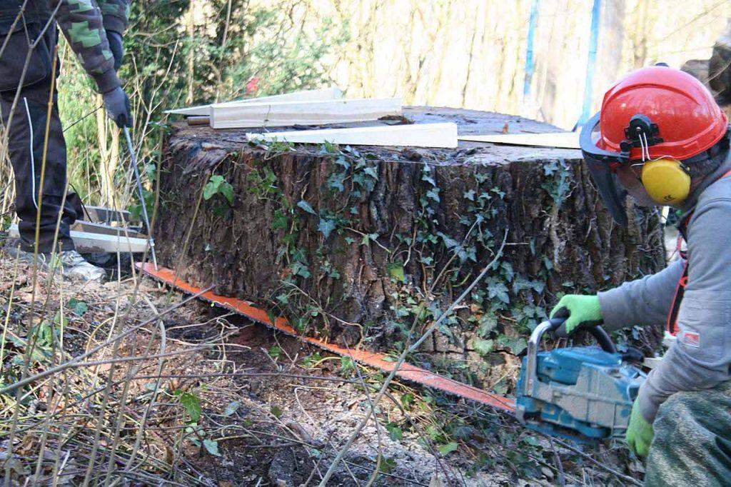 Schnitt Baumstumpf Knigge Eiche